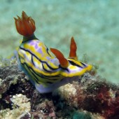 Colourful Nudibranch