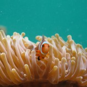 NEMO (Western Clown fish)