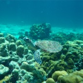 Diving on Koh Talu we saw a turtle