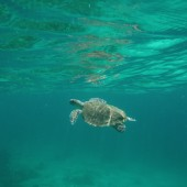 Turtle going to surface