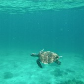Turtle swimming over reef