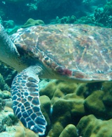 Turtle-On-Koh-Talu