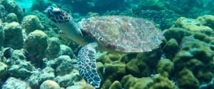 Turtle-On-Koh-Talu